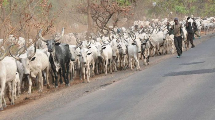 Fulani herdsmen grazing their cattle across farmlands in southeastern states of Nigeria